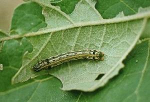Spodoptera-littoralis-lepidottero-polifago