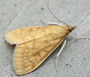 adulto-di-piralide-ostrinia-nubilalalis