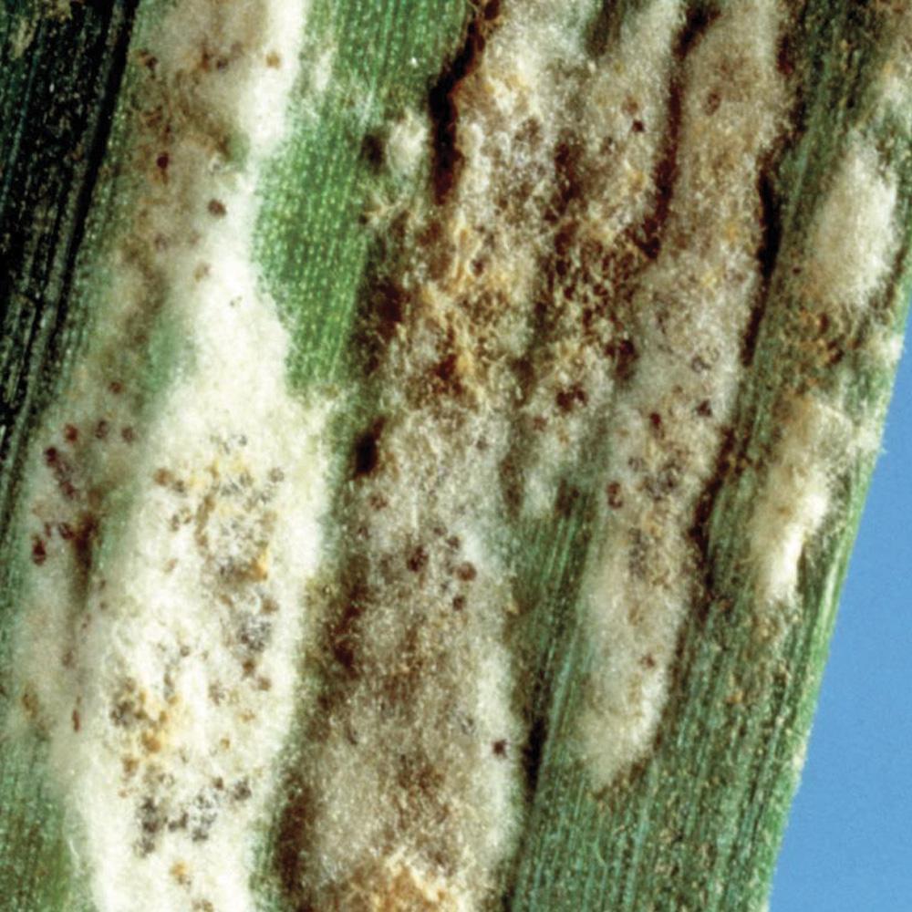 Fungicida-endoterapico-Mal-del-piede-Fusariosi-spiga-Cereali