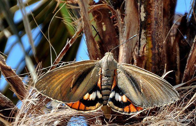 farfalla delle palme