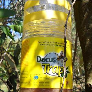 dacus trap trappola mosca olearia