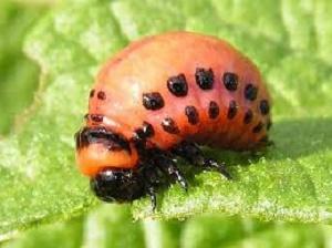 larva-di-Dorifora-della-patata