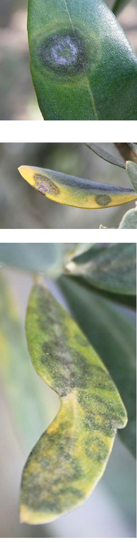 occhio-di-pavone-rimedi