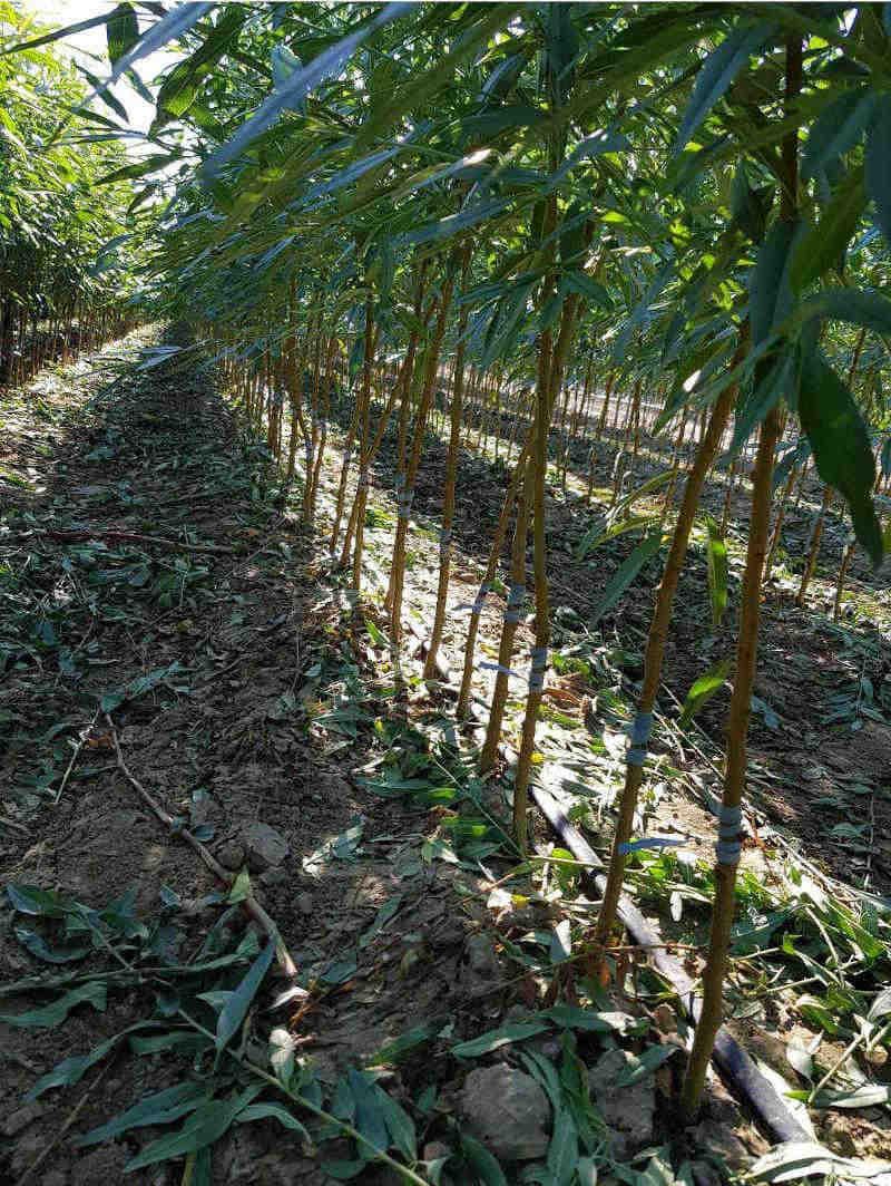 pianta-albero-di-mandorlo-vendita-on-line