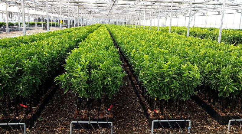pianta-arancio-fukomoto-citrus-sinensis-vivaio