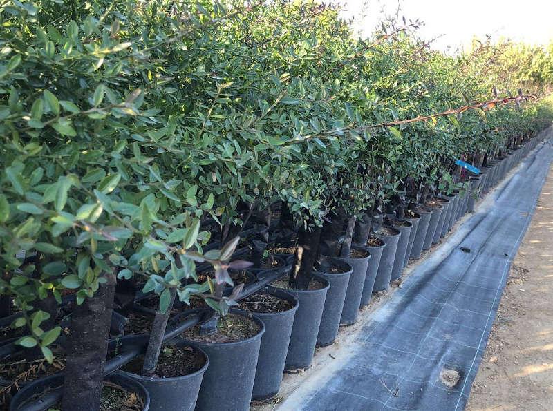 pianta-di-limone-caviale-finger-lime-in-vaso