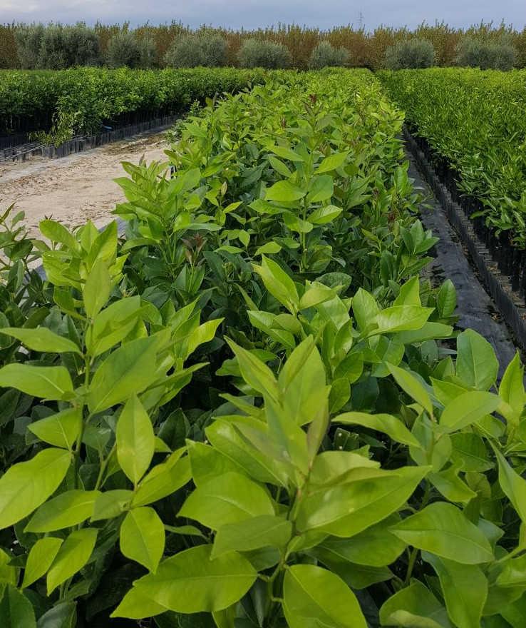pianta-di-limone-femminello-a-zagara-bianca-in-vaso-vivaio