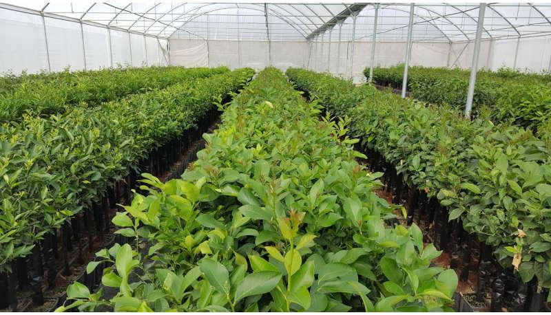 pianta-di-limoni-femminello-siracusano-2kr-VIVAIO