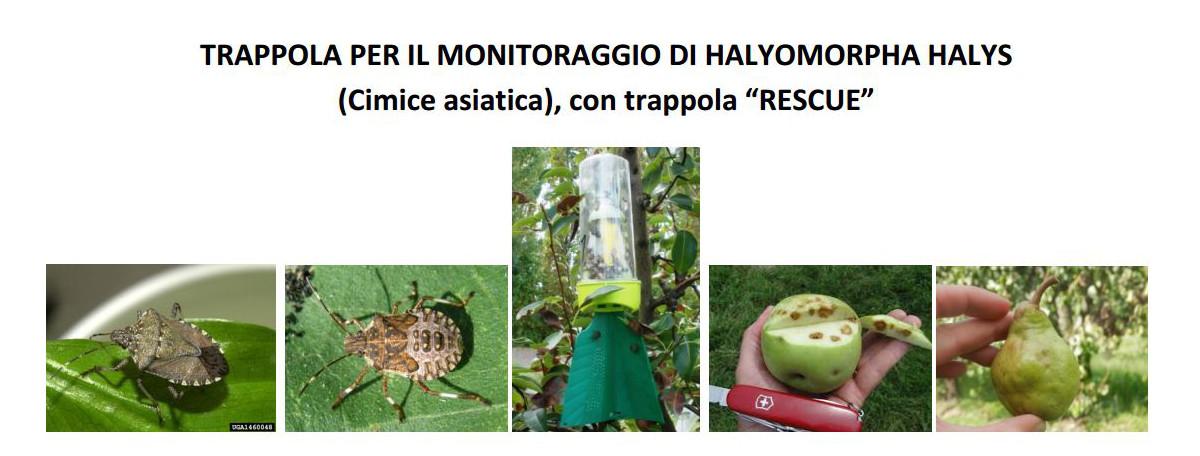 trappola-per-monitoraggio-e-cattura-cimice-asiatica-halyomorpha-halys-1