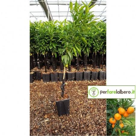Pianta clementine SRA 89