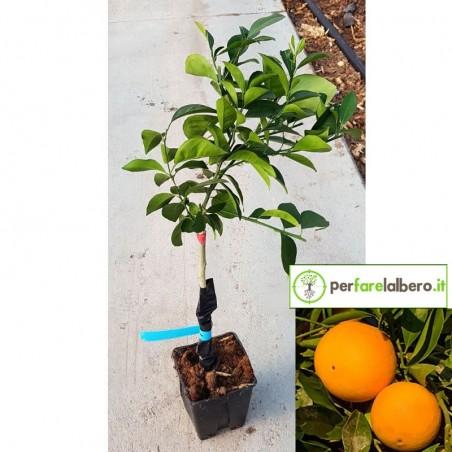Pianta di Arancio Fukomoto Citrus sinensis