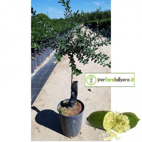 Pianta di Limone Caviale Giallo Finger Lime in vaso