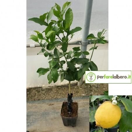 Pianta di Limone Femminello Zagara Bianca in vaso