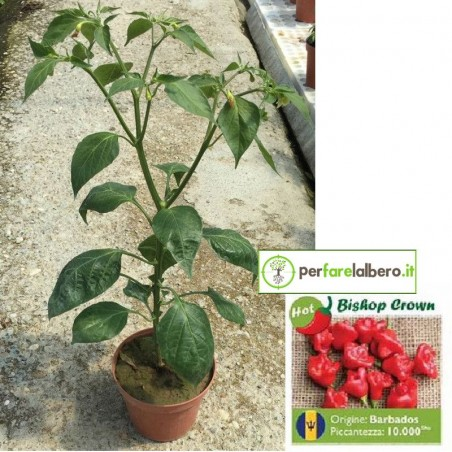 Piantina Peperoncino BISHOP CROWN