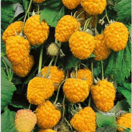 Pianta di Frutti di Bosco Lampone Giallo