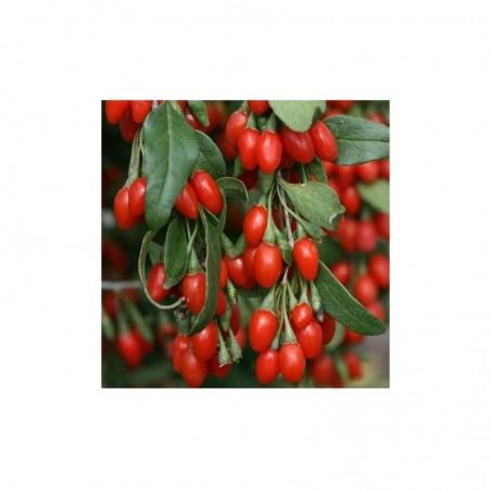 Pianta di Frutti di Bosco - Goji