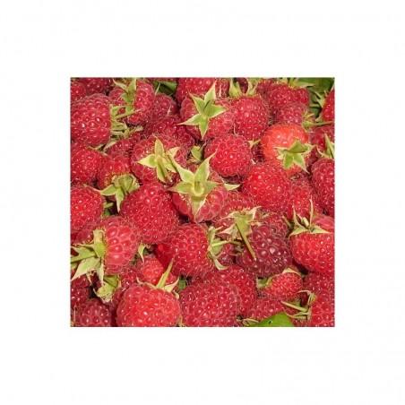 Pianta di frutti di bosco Lampone Rosso
