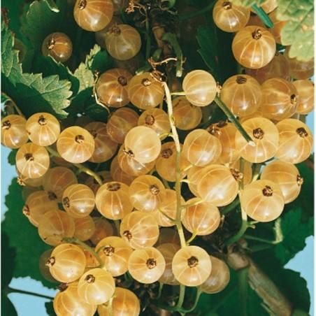 Pianta di Frutti di Bosco Ribes Bianco