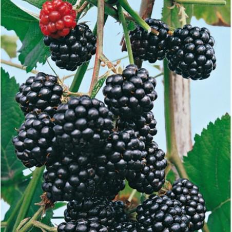 Pianta di frutti di bosco More