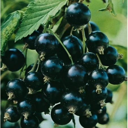 Pianta di Frutti di Bosco Ribes Nero