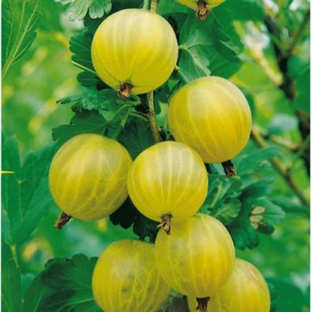 Pianta di Frutti di Bosco Uva Spina Bianca