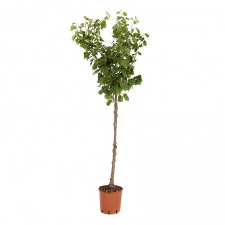Pianta di albicocco var. precoce locale