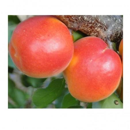 Pianta di albicocco var. rosso locale