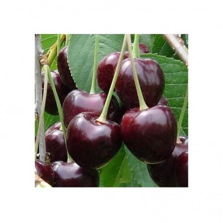 Pianta di ciliegio var. Durone II