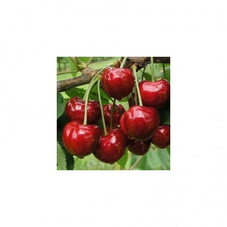 Pianta di ciliegio Bigarreau Burlat