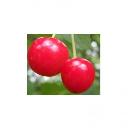 Pianta di ciliegio varietà Amarena Montmorecy