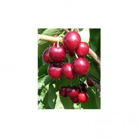 Pianta di ciliegio varietà Lapins