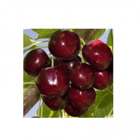 Pianta di ciliegio varietà Sunburst