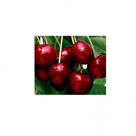 Pianta di ciliegio varietà Van