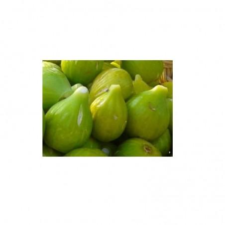 Pianta di Fico Dottato (Ficus carica)