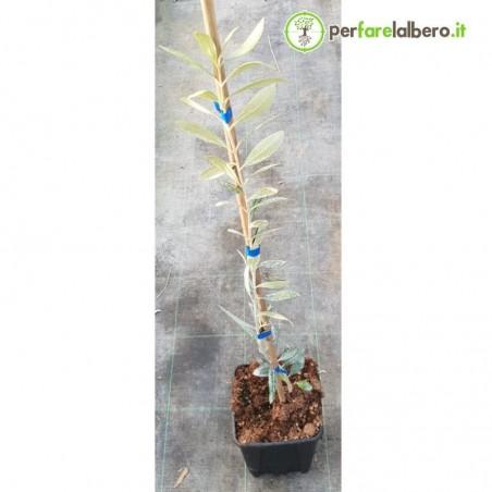 Pianta di olivo FS17 Favolosa resistente alla Xilella