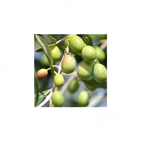 Piante di Olivo da mensa