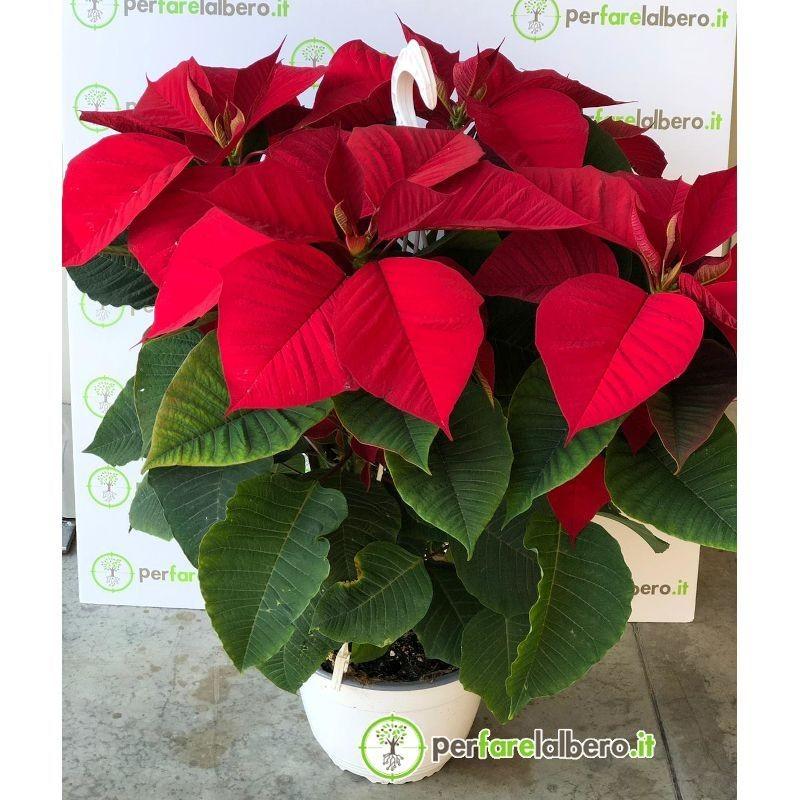 Pianta Stella di Natale Euphorbia pulcherrima - Poinsettia