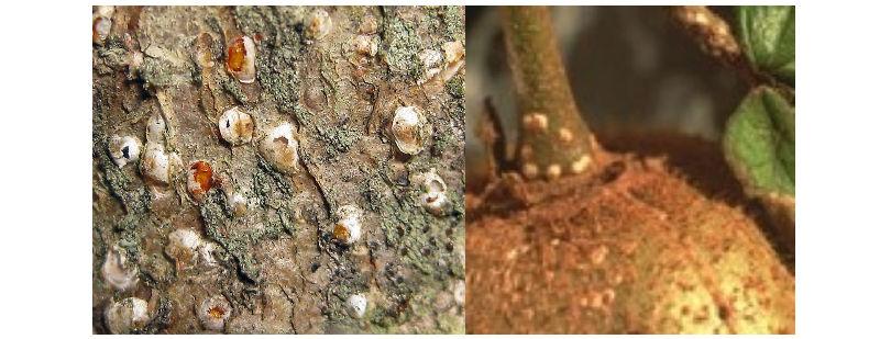 Cocciniglia bianca Pseudaulacaspis pentagona
