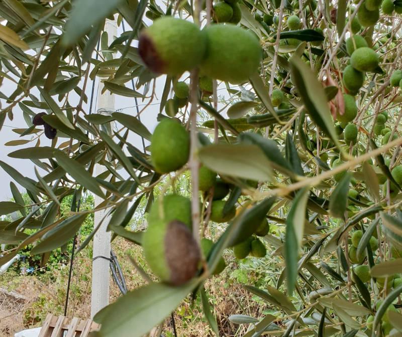 antracnosi lebbra dell'olivo