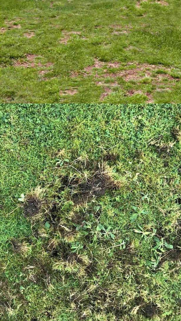 danni tappeto erboso Maggiolino Melolontha melolontha