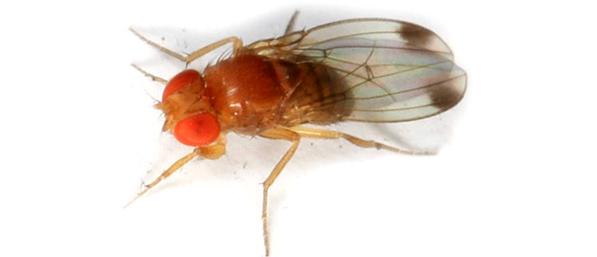 drosophila-suzukii