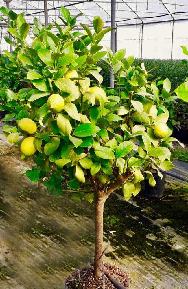 irrigazione pianta di limoni in vaso