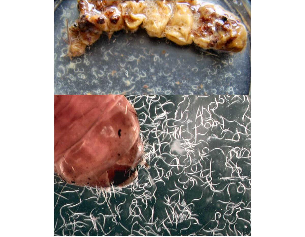 larva di maggiolino parassitizzata dai nematodi