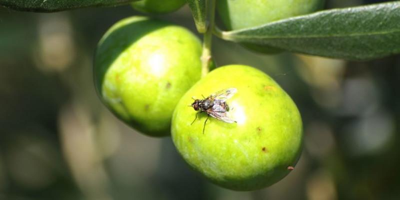 https://www.perfarelalbero.it/img/cms/blog/mosca-dellolivo-trattamenti-batrocera-oleae