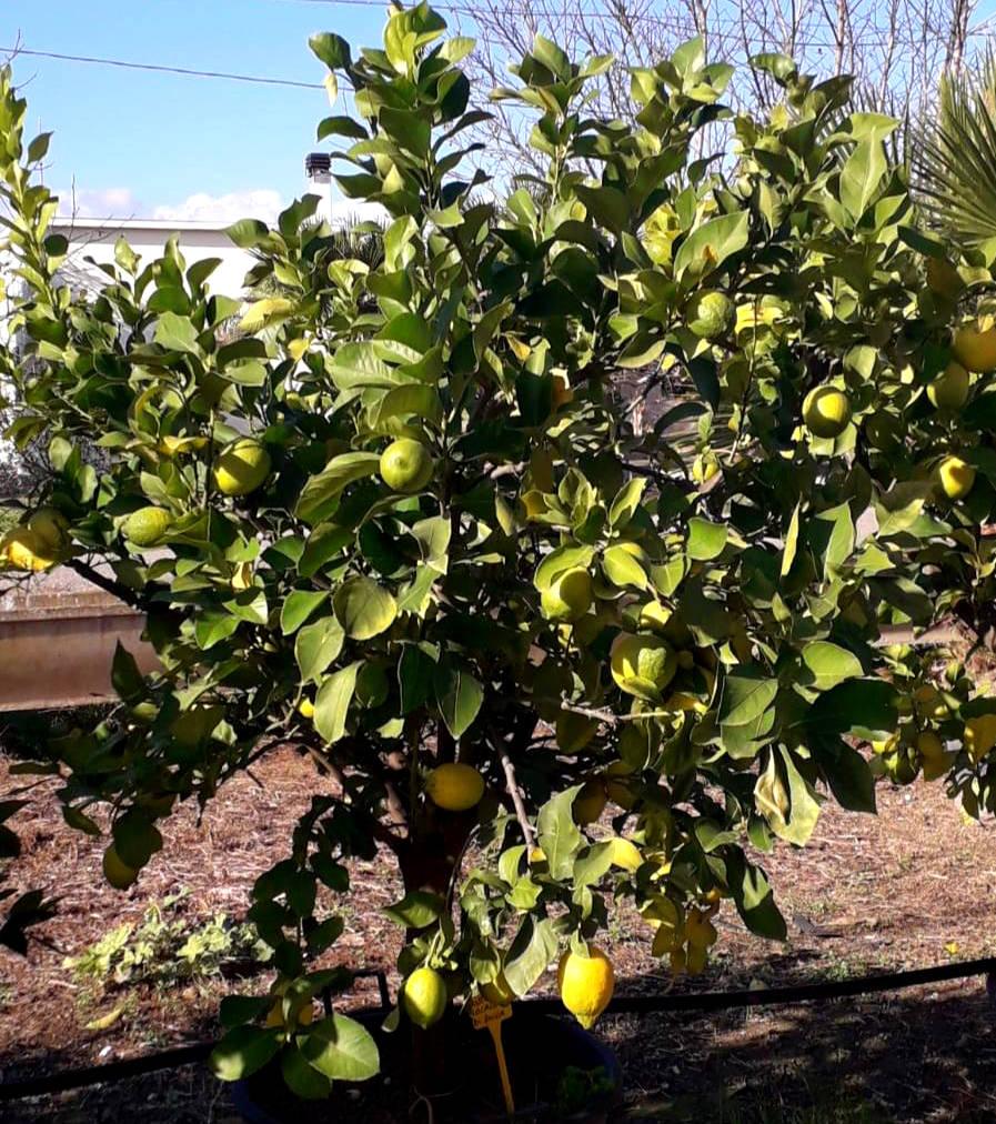 pianta di limoni in vaso