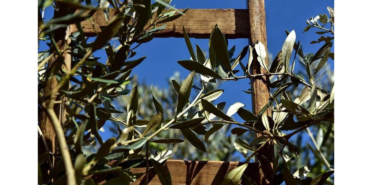 trattamento post raccolta olive