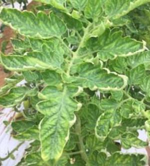 Virus dell'accartocciamento fogliare giallo del pomodoro