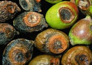 lebbra dell olivo