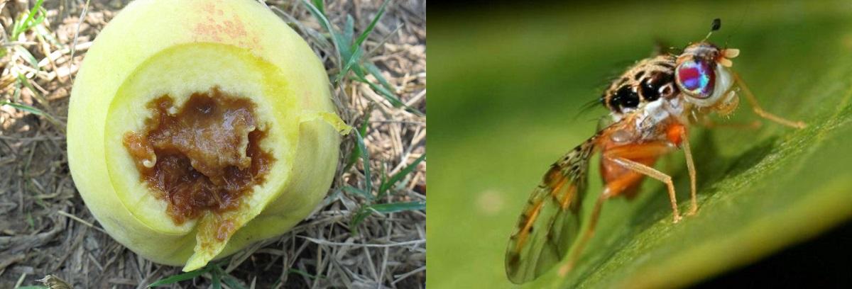 mosca della frutta danno