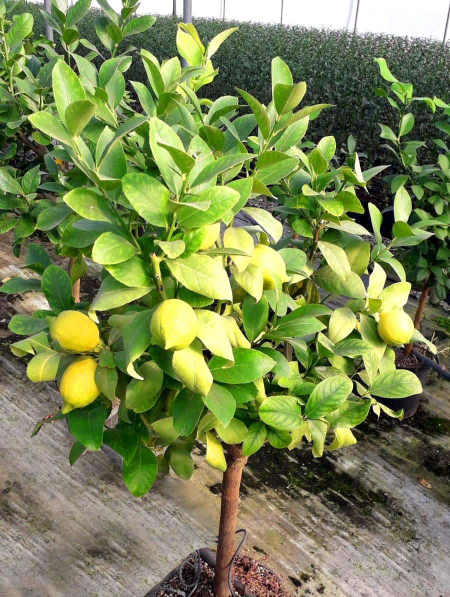 concime per limoni in vaso